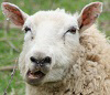 """Interested in single mature ewes for friendship, marriage and hot sheep action, not necessarily in that order.  Must have GSOH, BBC4, ASBO and RSPB. No timewasters, will ideally have own teeth although I have a couple of spares if required.  Please supply utility bill and bank statement on application."" : Click for more details"